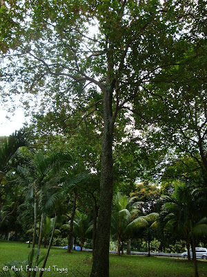 Singapore Trees Picture 2