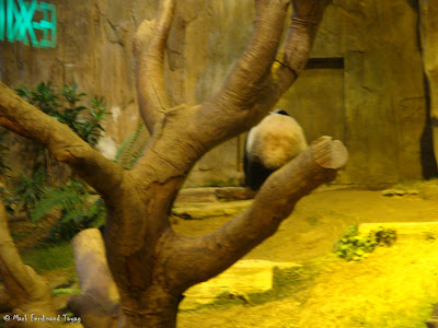 Giant Panda Habitat Ocean Park Hong Kong Photo 4