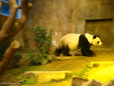 Giant Panda Habitat Ocean Park Hong Kong Photo 6