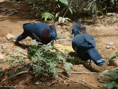 Jurong Bird Park - Royal Ramble Crowned Pigeons Photo 5