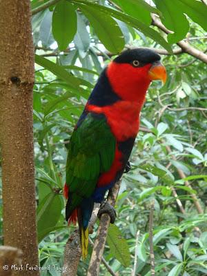 Jurong Bird Park - Lory Loft Batch 2 Photo 13
