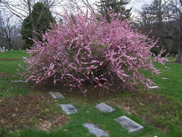 Cajun gardening sweet almond vs flowering almond flowering sweet almond tree mightylinksfo