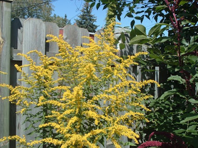 [Photo: Solidago canadensis.]