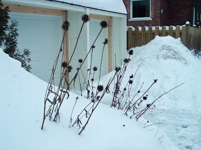 [Photo: Echinacea purpurea in winter.]