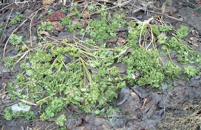 [Photo: Petroselinum crispum foliage at winter's end.]