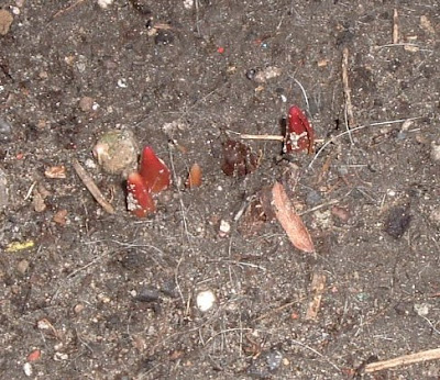 [Photo: red mystery shoots.]