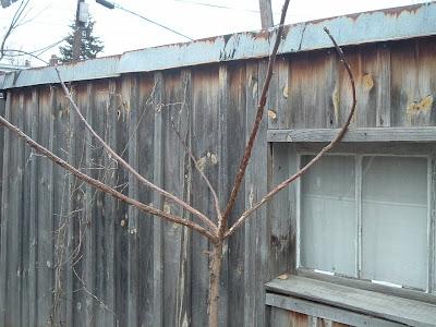 [Photo: Juglans nigra in winter.]