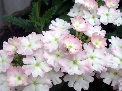 [Photo: Verbena 'Romance Pink'.]