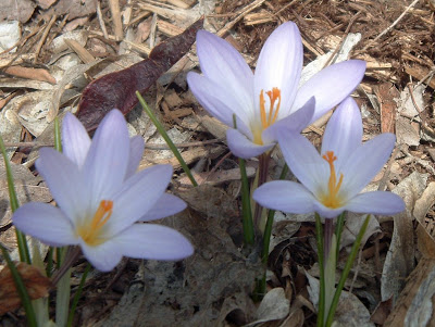 [Photo: mauve crocuses]