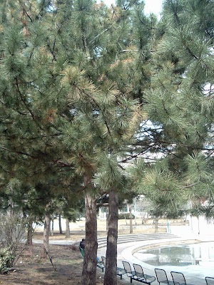 [Photo: white pine in College Park.]