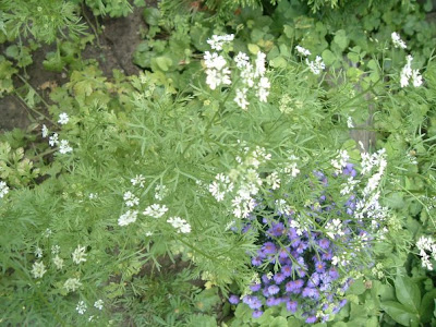 [Photo: Coriandrum sativum in bloom (with Symphyotrichum novi-belgii (mauve flowers)).]
