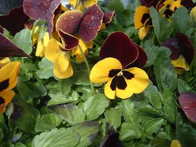 [Photo: Viola x wittrockiana Matrix Red and Yellow.]