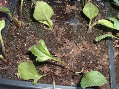 [Photo: Echinacea purpurea seedlings chomped by cats.]
