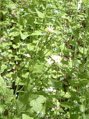 [Photo: a zillion garlic mustard plants in High Park.]