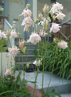 [Photo: pale pink Aquilegia.]