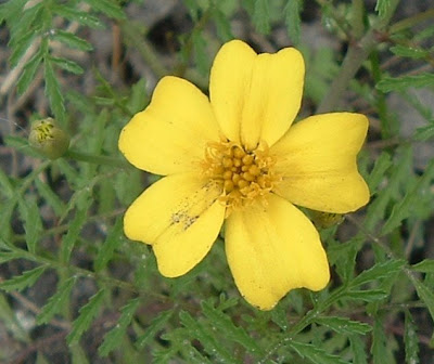 [Photo: Tagetes tenuifolia Lulu flower.]