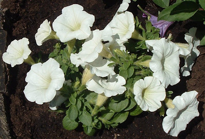 [Photo: Petunia 'Famous New White'.]