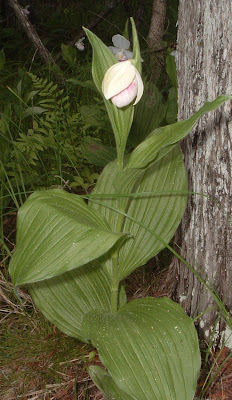 [Photo: Cypripedium reginae flower bud.]