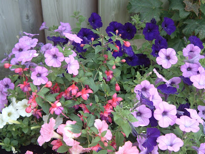 p[Photo: planter with Petunia and Fuchsia.]
