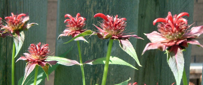 [Photo: Monarda didyma flower buds.]