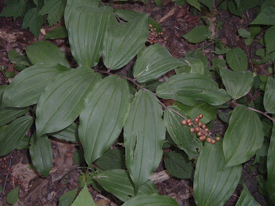 [Photo: Maianthemum racemosum with unripe fruit.]