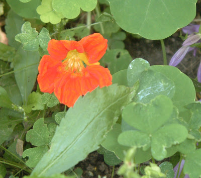 [Photo: Tropaeolum majus 'Jewel Mix'.]