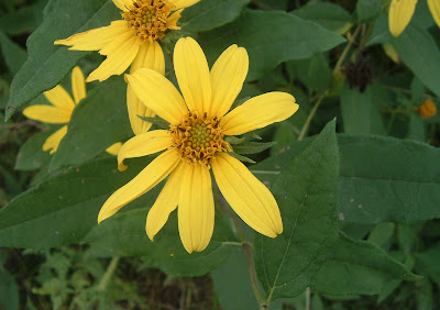 [Photo: Helianthus divaricatus flowers © Nicky Sztybel.]