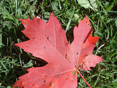 [Photo: red maple leaf © Nicky Sztybel.]
