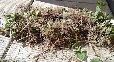 [Photo: Roots of Campanula rapunculoides.]