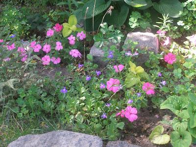 [Photo: Impatiens walleriana 'Xtreme Pink' and Lobelia erinus 'Cascade Sapphire'.]