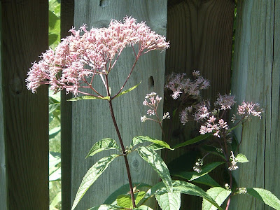 [Photo: Eupatorium 'Phantom'.]