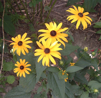 [Photo: Rudbeckia fulgida.]