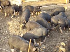 Birkshire Piglets 4 Sale