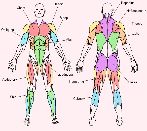 Bodyweight Exercise: FREE MUSCLE CHART DOWNLOAD