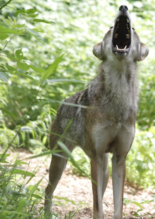 Red Wolf Howling Red Wolf Howling