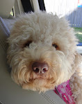 Ruby, Our Awesome Australian Labradoodle.  She eats Vegemite and has an Aussie accent.