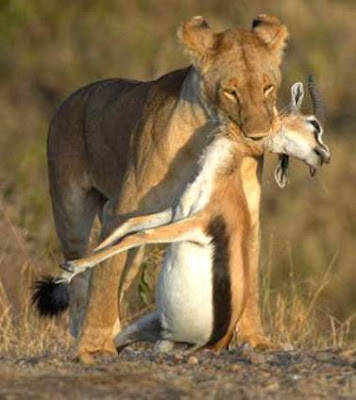 wildlife animals of lion hunting deers pictures