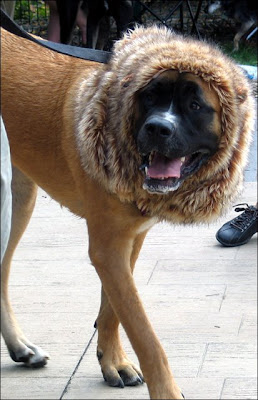 Mastiff in lion costume