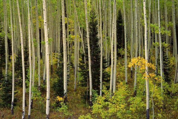 Süper bir doğa manzarası Aspen%2BGrove,%2BUncompahgre%2BNational%2BForest,%2BColorado-776547