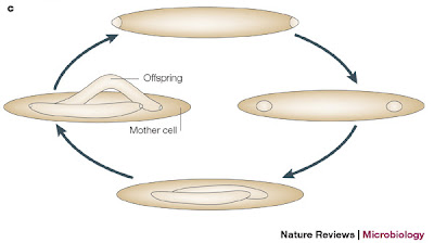 Life cycle of Epulopiscium