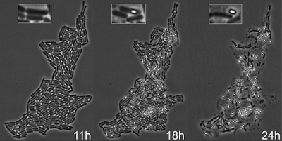 B. subtilis microcolony development, from Figure 1 of PNAS article. Click for a larger view.