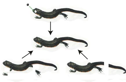 animal asexual reproduction - photo #36