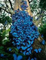Borboletas Azuis - Imagens Incríveis