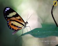 Borboleta Hypothyris Ninonia Daeta