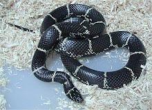 Getula King Snake