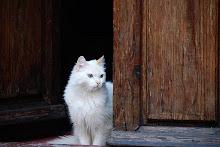 Warrior-Frostysky-she-cat