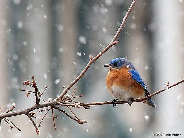 Winter bird images - photo#22