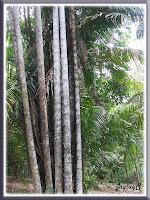 Oncosperma tigillarium (Nibung Palm) at Rimba Ilmu Botanic Garden (Forest of Knowledge), Universiti Malaya