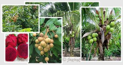 Longans, Coconuts and Dragon Fruits at the Longan Farm, Tanjung Sepat in Kuala Langat, Selangor