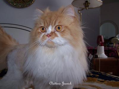 elevage de chats persans et himalayen cats breeder persians himalayans charline exotic bicolore. Black Bedroom Furniture Sets. Home Design Ideas